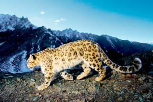 léopard 2